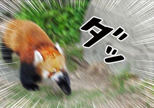 走るレッサーパンダ